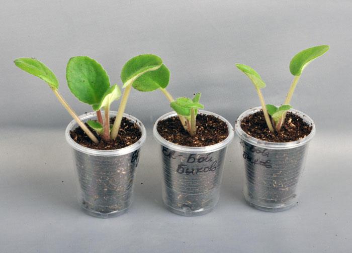 Листки сенполии в пластиковых стаканчиках