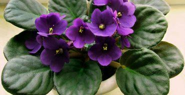 Цветок фиалки без болезней