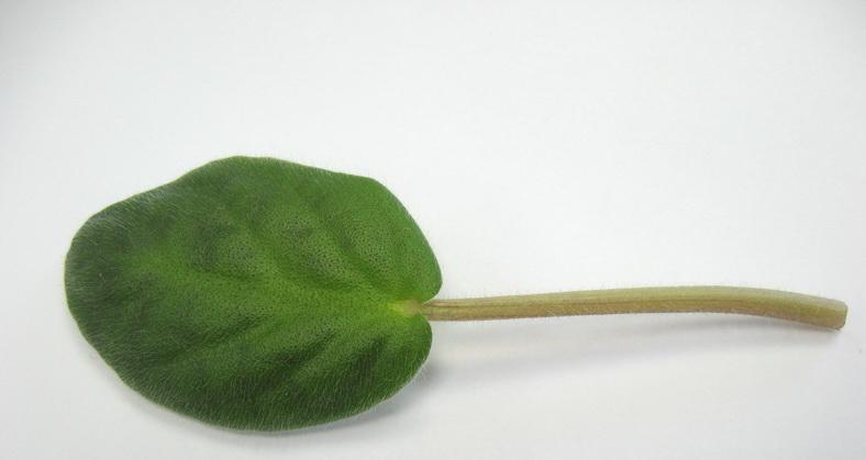 Лист для размножения сенполии должен быть здоровым