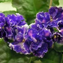 Цветы фиалки вида Чудо