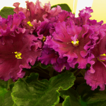 Цветки сенполии вида рубин Моголов