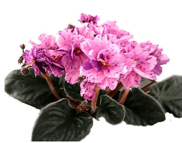 Фиалка вида Розовый далматинец