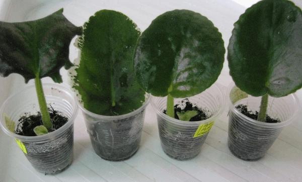 Когда листок фиалки немного подрастет, его необходимо пересадить в другую емкость