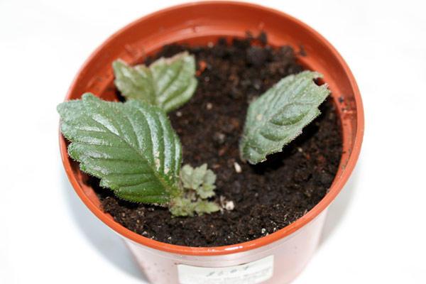 Три листка фиалки в глине