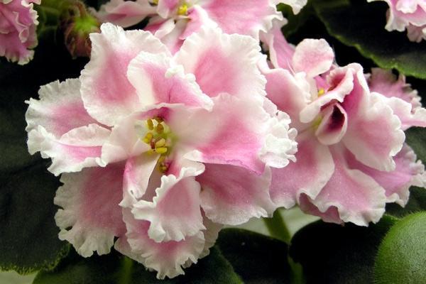 Фото цветка комнатной фиалки