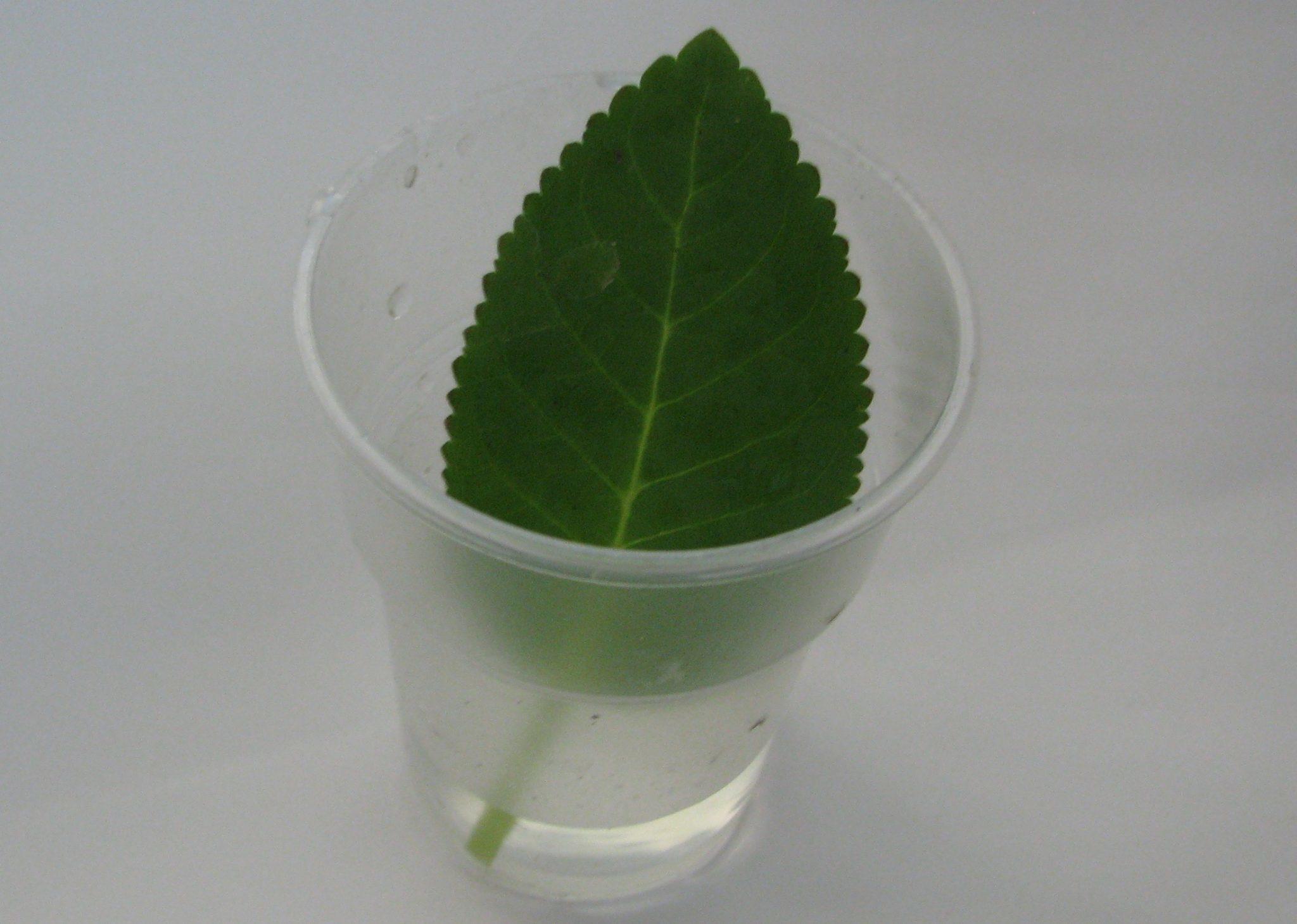 Замачивание листка в воде