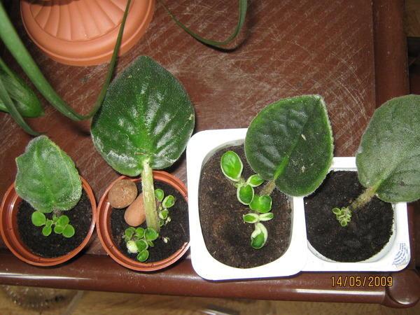 Листки сенполий в разных горшках