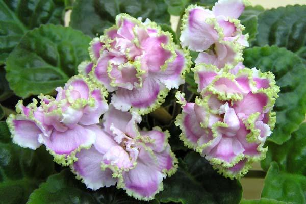 Фото декоративной розово-зеленой фиалки