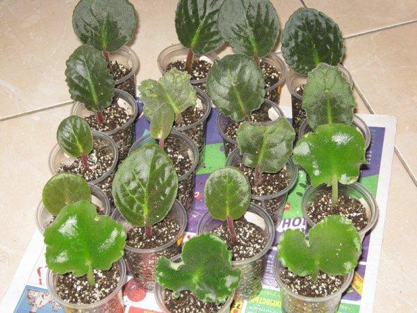 Как вырастить фиалку из листочка: способы выращивания фиалки
