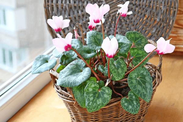 Цикламен с цветами нежно-розового цвета