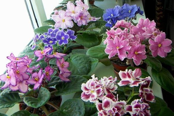 Фото сенполий разных цветов
