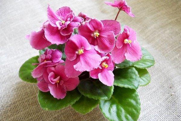Фиалки комнатная розового цвета