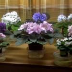 Фото фиалок разных цветов