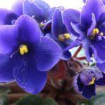 Фиолетовые цветки растущей орхидеи