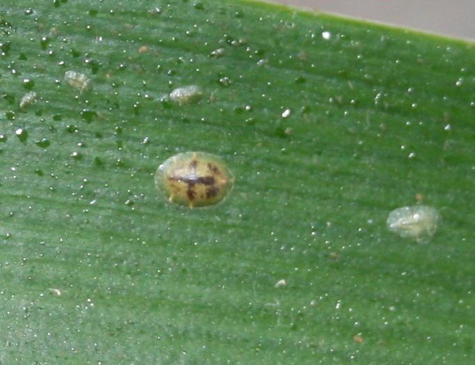 Крупная щитовка сидит на листке