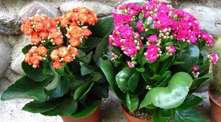 Несколько цветков сорта Блоссфельда