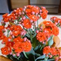 Цветущая орхидея каланхоэ на фото