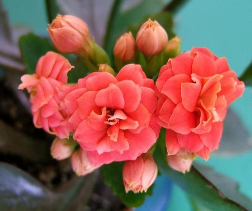 Крупные алые цветки на фото