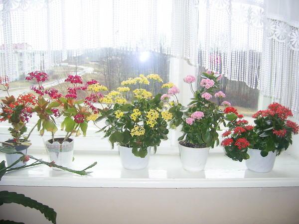 Несколько видов цветка на подоконнике