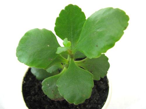 Крупные листья для размножения