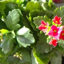 Каланхоэ с цветком на фото