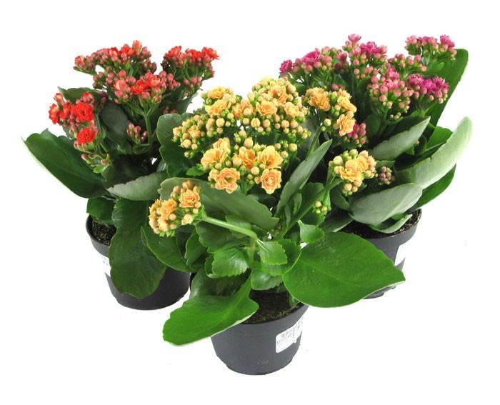 Каланхоэ цветок как за ним ухаживать