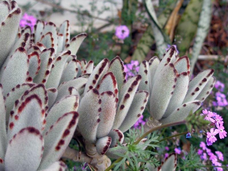 Войлочные бархатные листья цветка