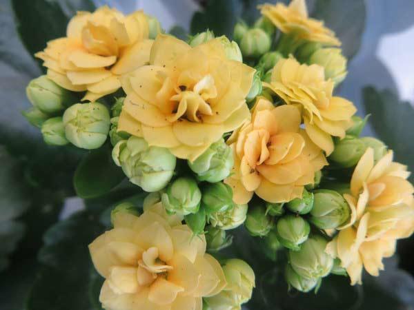 Блоссфельда цветет желтыми листьями