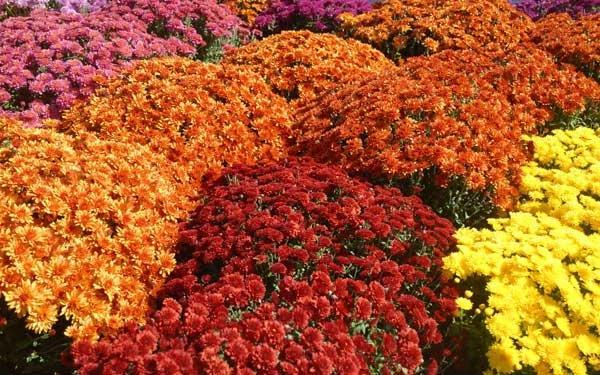 Цветы сорта Микс в теплых тонах