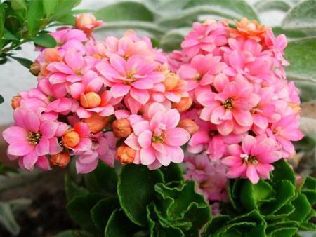 Цветущая каланхоэ с розовыми цветами