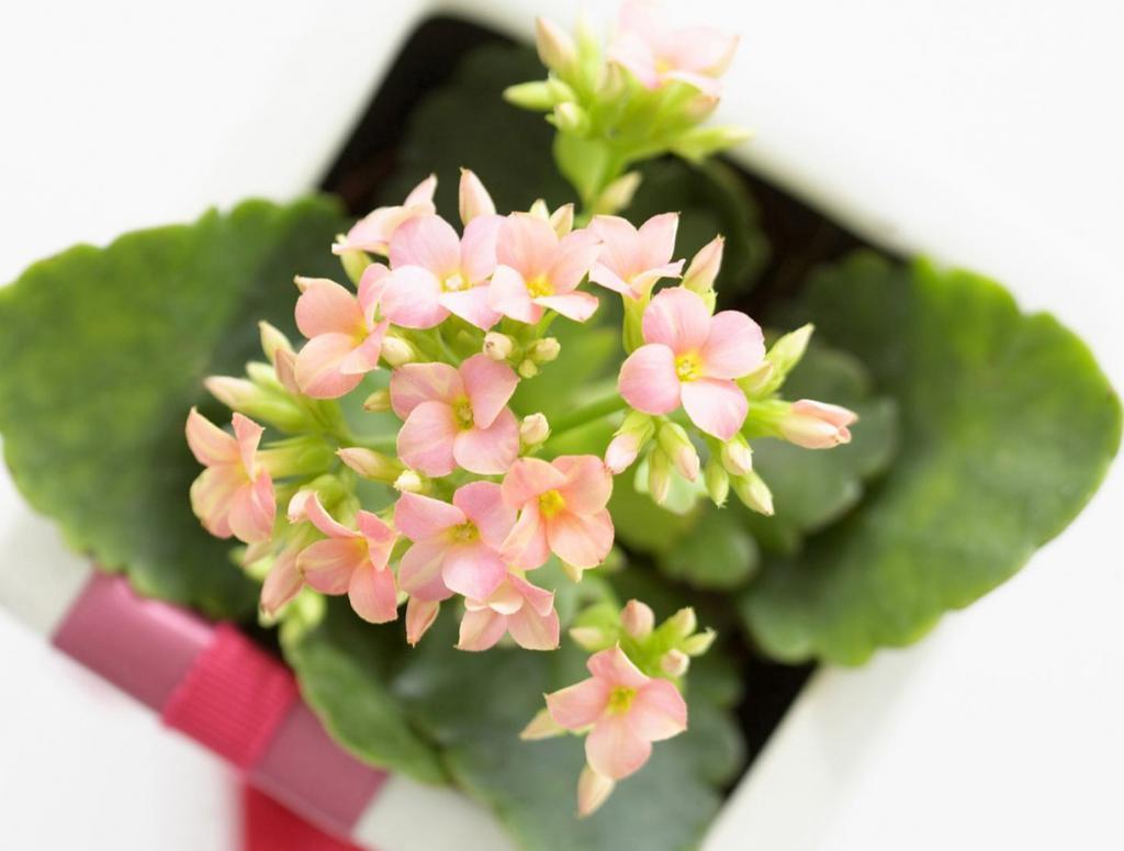 Розоватые цветы комнатного растения