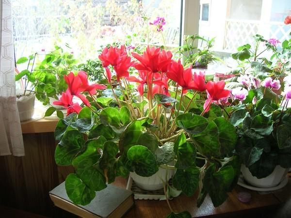 Растение Cyclamen на подоконнике