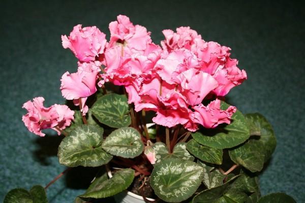 Цветы Цикламена в период сна