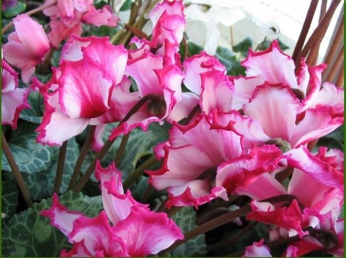 Цветение Cyclamen на снимке
