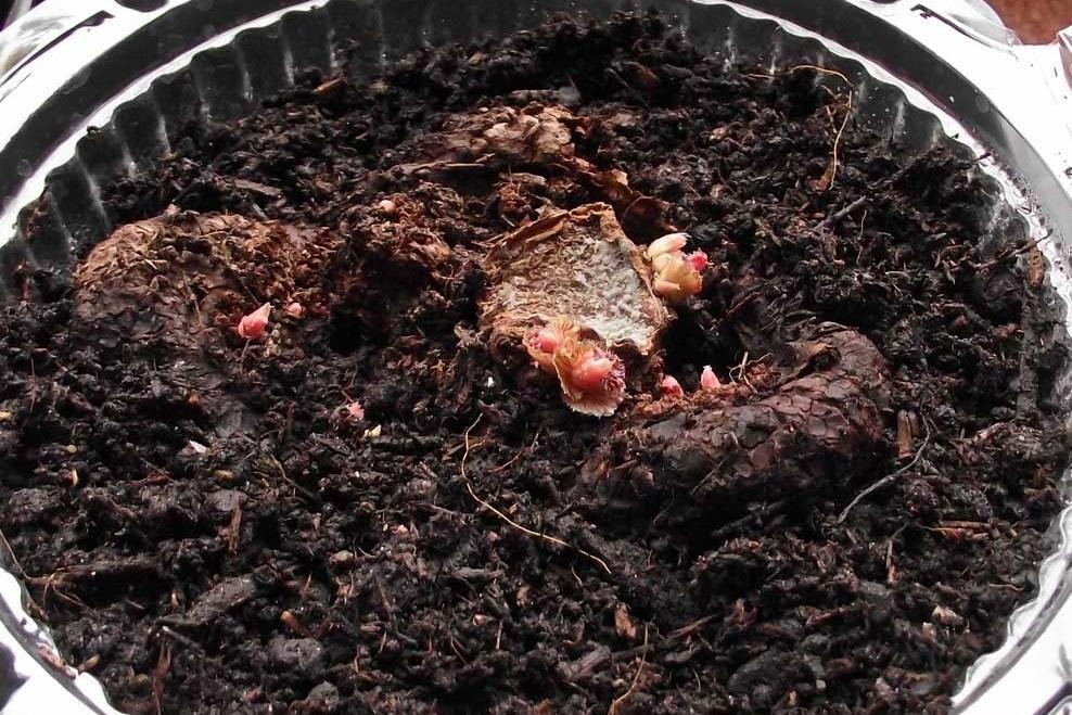 Как выглядят клубни растения в грунте