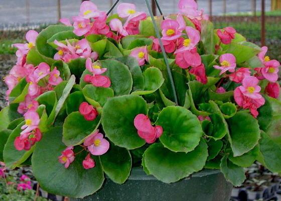 Садовая Begonia в подвесном горшке