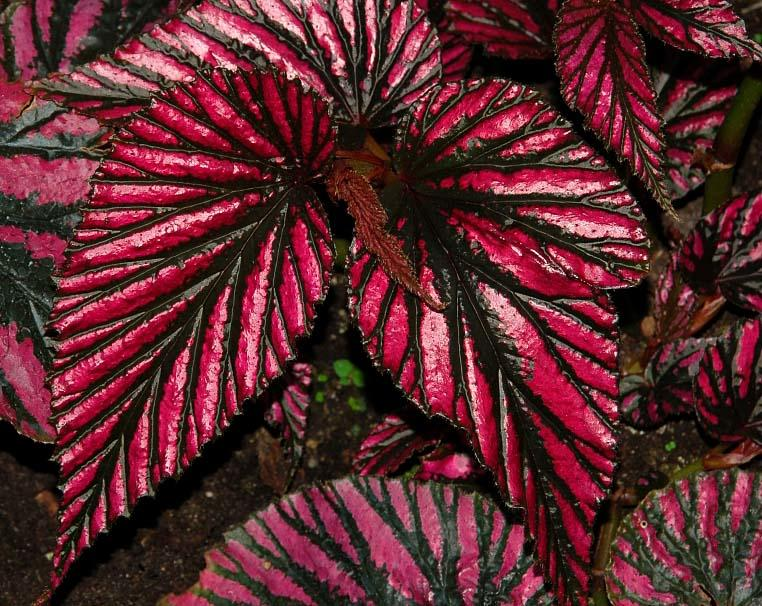 Begonia Exotica - декоративно-лиственный тип