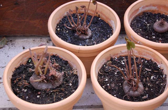 Cyclamen - выращивание в горшках