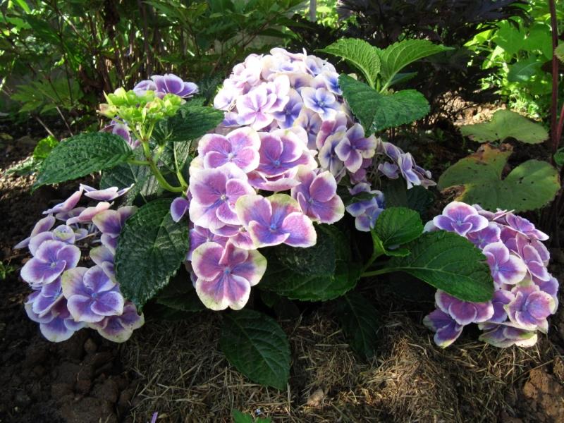 Выращивание цветка в открытом грунте