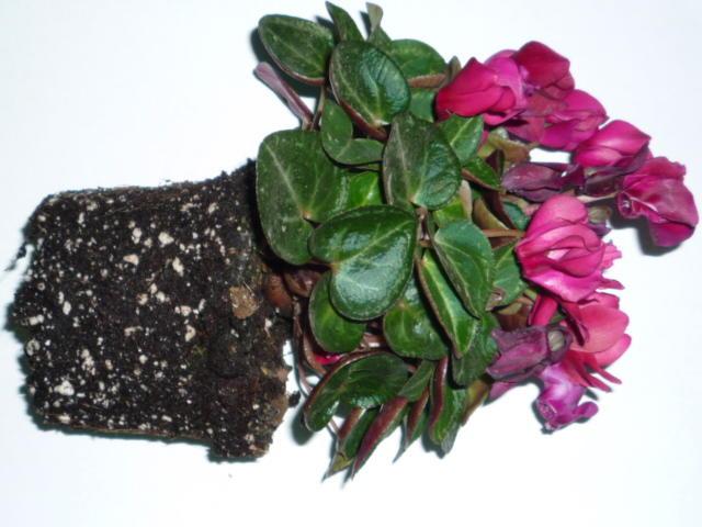 Растение пустило корни в грунт