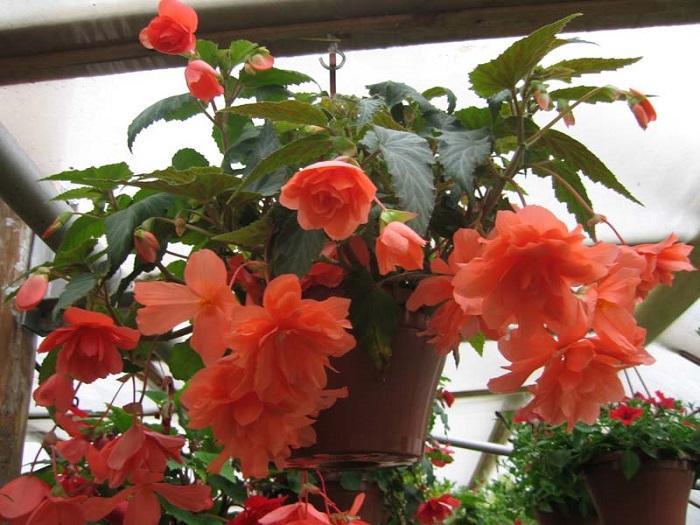 Период цветения солнечной бегонии
