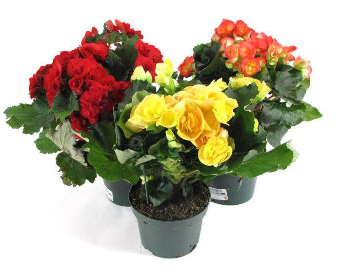 Три горшка с цветами разных цветов