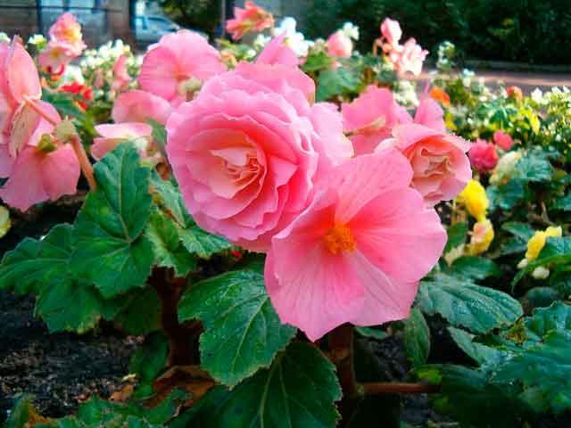 Розовый бутон цветка Begonia
