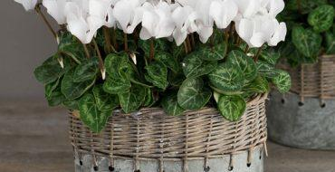 Красивый цикламен с белыми листьями