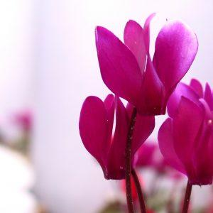 Красивое цветение цикламена фото
