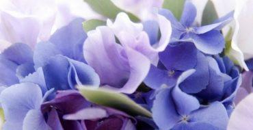 Красивая цветущая гортензия фото