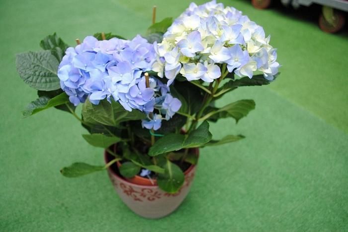 Голубоватые цветки гортензии