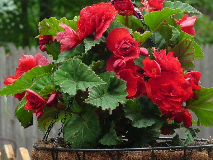 Ярко-красные соцветия на фото