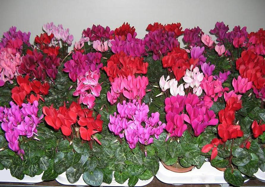 Различные сорта цветка на фото