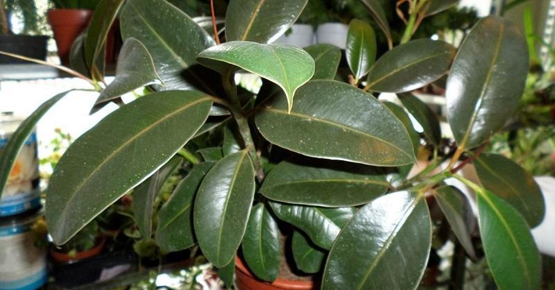 Крупные ярко-зеленые листья растения